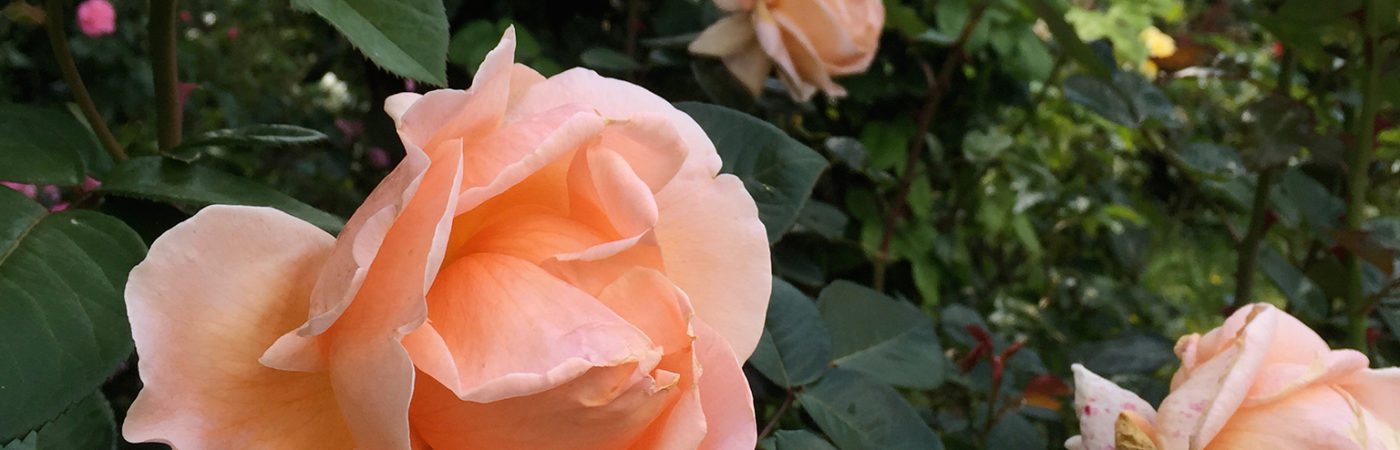 02_rose